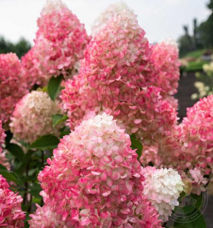 Гиацинт садовый Чайна Пинк