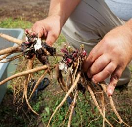 Почему так плохо цветут пионы, грубые ошибки