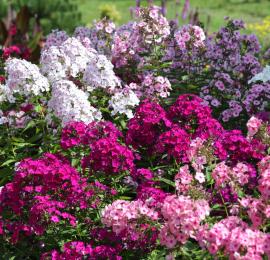 Каквыращивать флоксы, пересадка, вторичное цветение, вредители