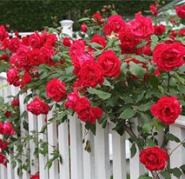 Секреты роз, выращивание роз на участке, советы специалиста