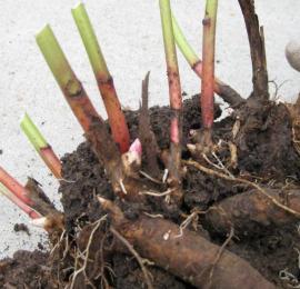 Как правильно посадить пионы  в саду