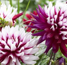 Выращивание георгин: секреты обильного цветения