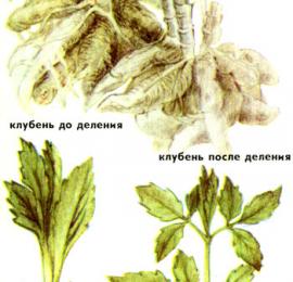 Способы размножения георгин, делением и черенками