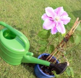 Клематисы правильный уход за почвой, регулярные подкормки , полив, обрезка