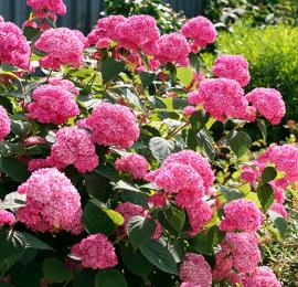 Гортензия: посадка и уход, секреты выращивания роскошной красавицы