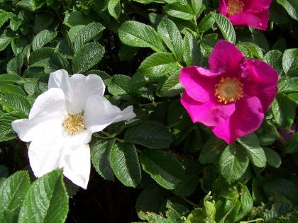 Роза Ругоза (роза морщинистая)