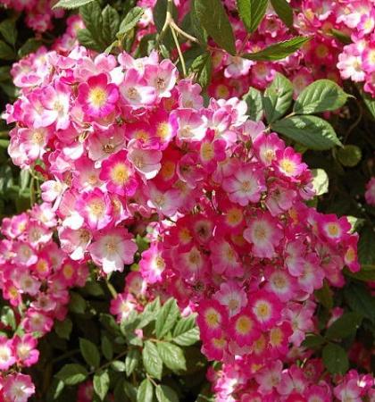 Роза мускусные гибриды