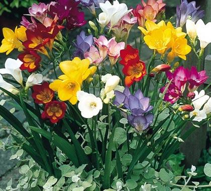 Луковичные и многолетние цветы