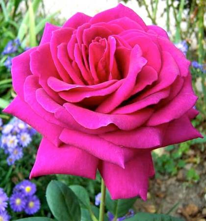 Роза чайно-гибридная Биг Пепл