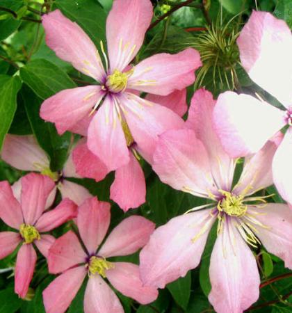 Клематис крупноцветковый (капер) Ай Нор