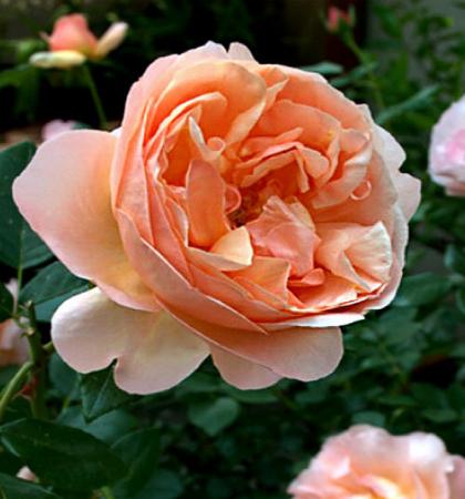 Роза чайно-гибридная Абей де Клуни