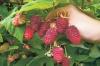 малина Челябинская крупноплодная