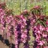 Яблоня колонновидная красноцветковая Розовая сказка