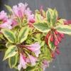 Вейгела цветущая Мэджикал Рейнбоу