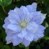 Клематис крупноцветковый Мазури (капер)