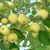Яблоня карликовая  Неженка