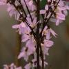 Форзиция розовая (Абелиолистник двурядный) Розеум
