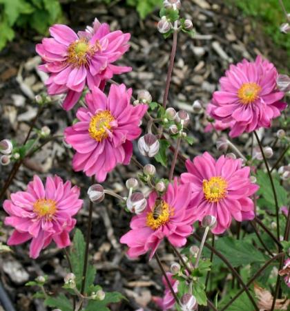 кукуруза Кубанская сахарная(ч/б)