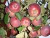 Яблоня карликовая Брусничное