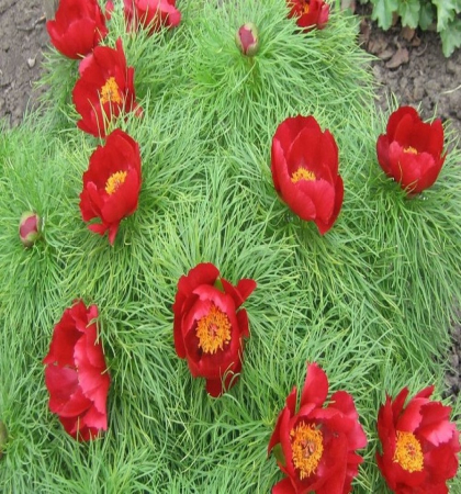 Ширококолокольчик крупноцветковый Фуджи Вайт