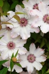 Клематис крупноцветковый Сноу Квин (капер)