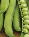 Горох овощной Адагумский(ч/б)