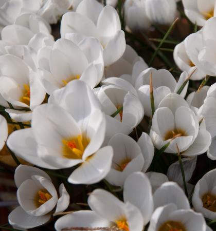 Крокус ботанический Сноубантин