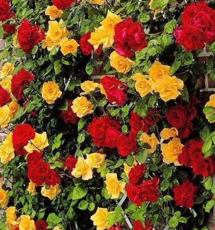 Роза плетистая (2 прививки) Спениш Флаг (Симпати х Голден Парфюм)
