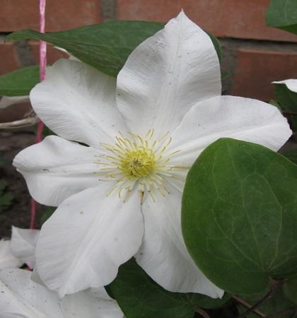 Клематис крупноцветковый Токи (капер)