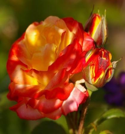 Роза плетистая Клайминг Румба
