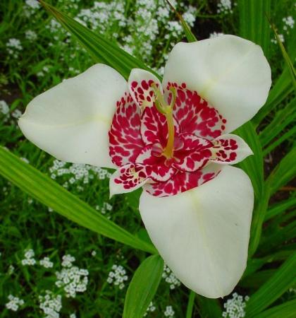 Тигридия Уайт (Tigridia White)