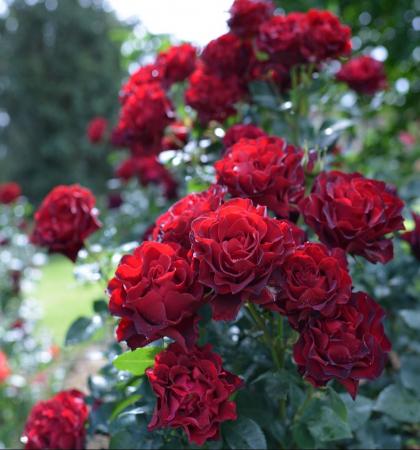Роза чайно-гибридная Хоммаж Барбара