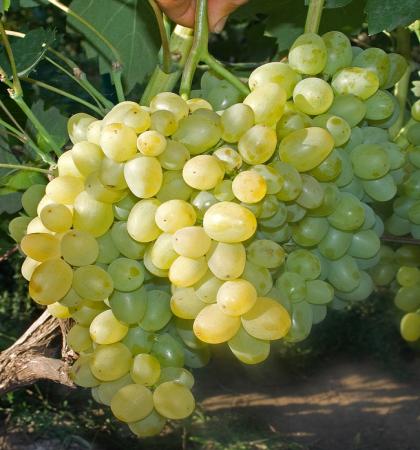 Виноград плодовый Супер-Экстра