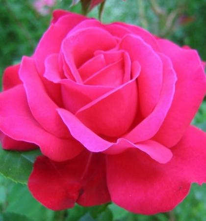 Роза чайно-гибридная Дам де Кер