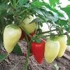 Перец сладкий Белозерка(ч/б)