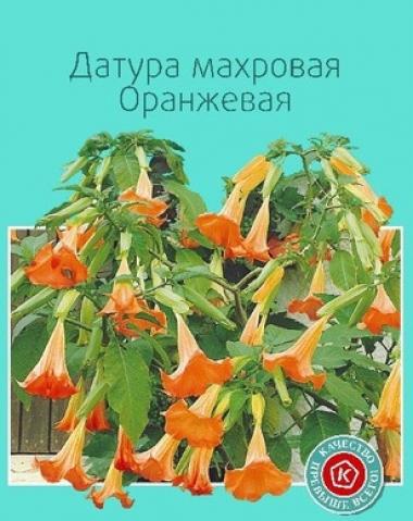 Датура оранжевая махровая