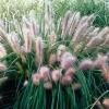 Пеннисетум лисохвостовый Ред Хэд