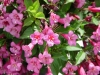 Вейгела цветущая Румба