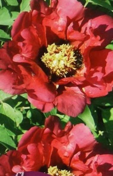 Пион древовидный Красный лотос
