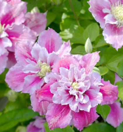 Клематис крупноцветковый Пиилу (капер)