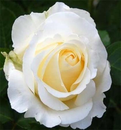Роза чайно-гибридная Чопин