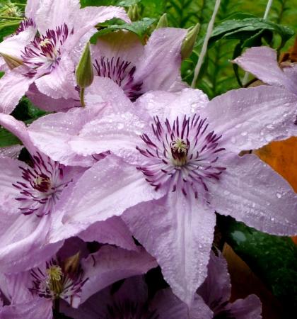 Клематис крупноцветковый Хегли Хайбрид (капер)