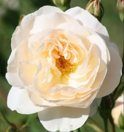 Роза парковая Вайт Энжел