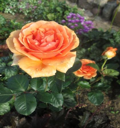 Роза чайно-гибридная Ашрам