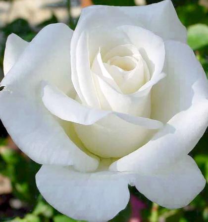 Роза плетистая Клайминг Вирго