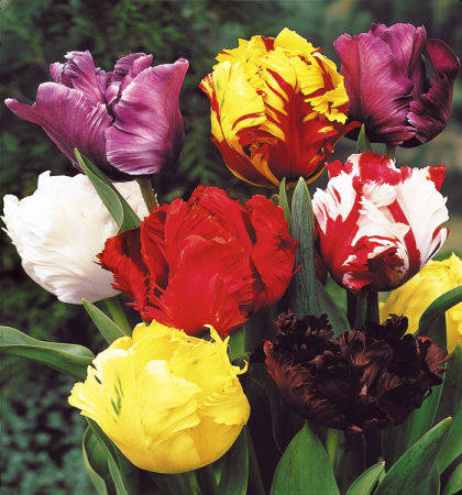 Тюльпаны попугайные   Весенний фейерверк   смесь окрасок