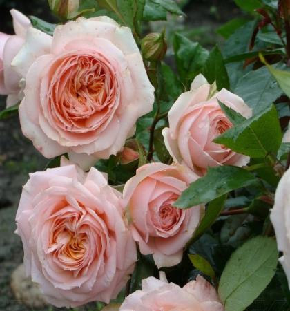 Роза чайно-гибридная Сурир де Хавр