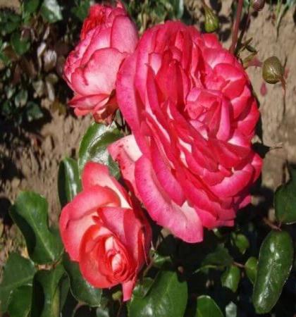 Роза плетистая Антик-89