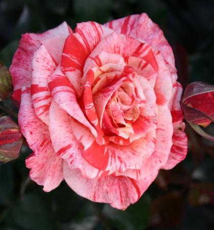Роза чайно-гибридная  Филателия ( Philatelie )