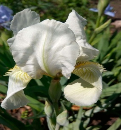 Клематис крупноцветковый Глэдис Пикард (капер)